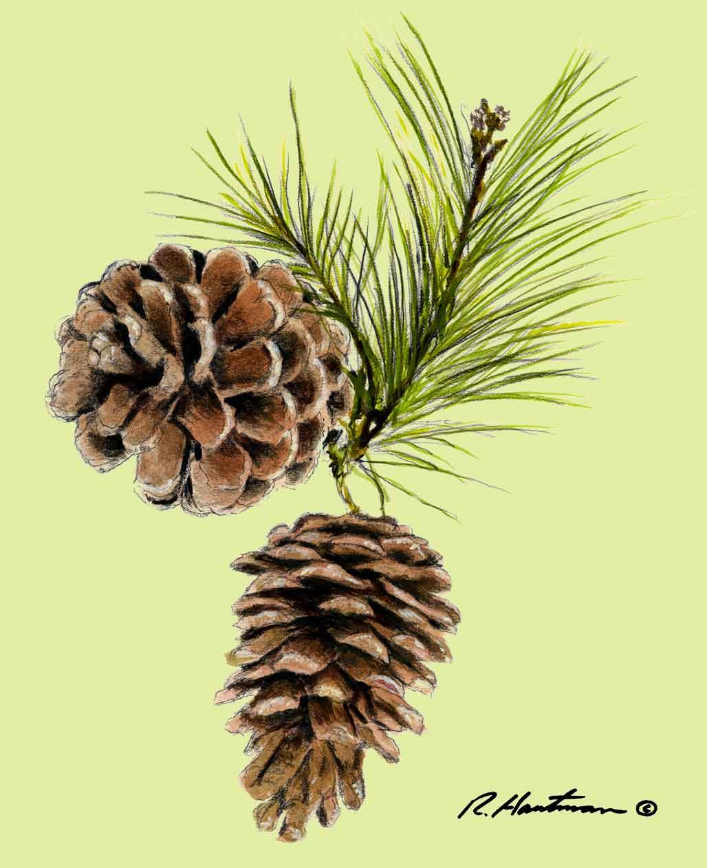 Pine Cones Maine State Flower